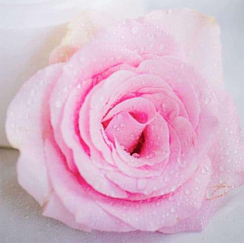 Pink rose 500 x 500